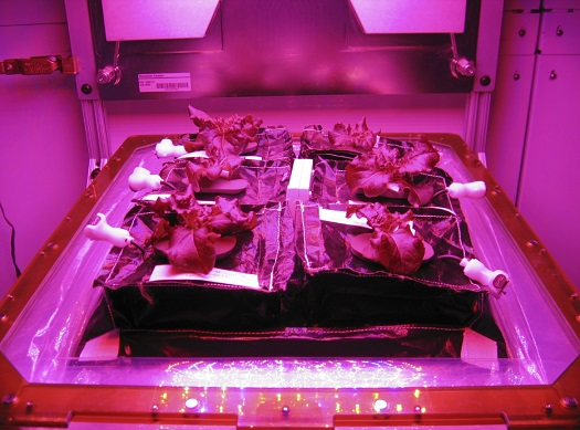 Outredgeous red romaine lettuce plants grow inside in a prototype Veggie flight pillow. The bellows of the hardware have been lowered to better observe the plants. A small temperature and relative humidity data logger is placed between the pillows small white box, central. (Credit: NASA/Gioia Massa)